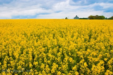 Europe-France-Countryside-Colza-Flower-1-L