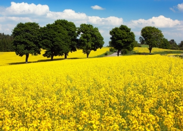 Mustard-Flower-Field-with-Trees-2