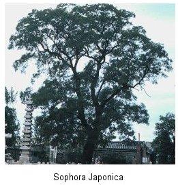 Cây Hòe -Sophora Japonica