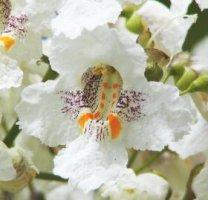 Hoa cây Tử- Catalpa