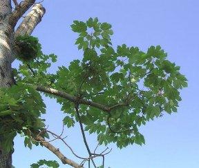 Ngô đồng Hoa Bắc (Firmiana simplex)