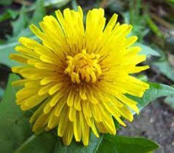 flor dente leão