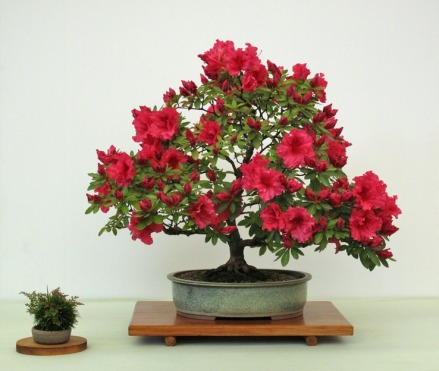 58-azalea-red-wings_med