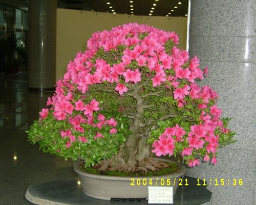 azalea-11