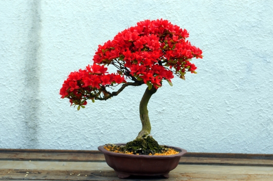 kurume_azalea_bonsai_in_bloom_in_training_since_1982_us_national_arboretum
