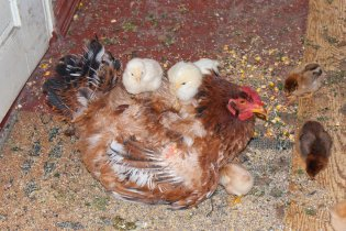 broody_hen_with_chicks_by_0_vla_0-d4wi2bw