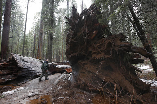 APTOPIX Drive Thru Sequoia
