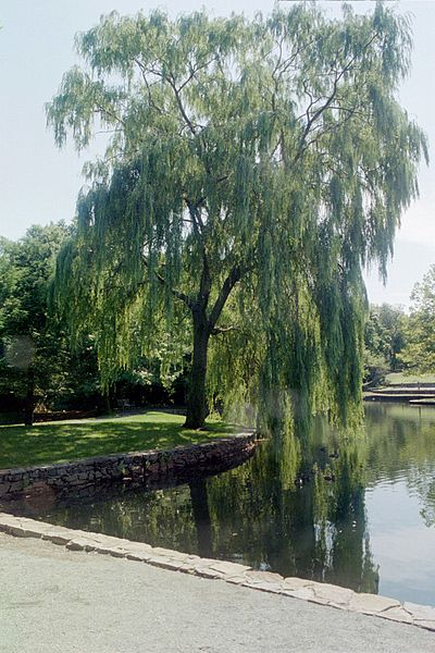 400px-weeping_willow_by_pond