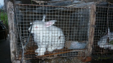 angora-rabbit-in-cage-10