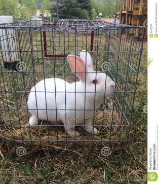 white-rabbit-cage-summer-s-evening-alaska-54411700