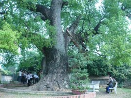 Konia Tree