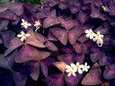 purple_clover_by_blackbetty25-d5dnxrl