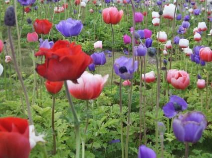 poppy-flower-field-141106